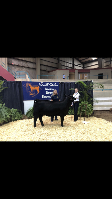 Michaela Herring with her Simmental heifer.