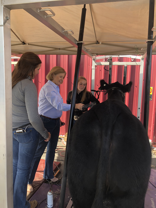 Mrs. Spearman combing Hannah Wooten's Crossbred heifer